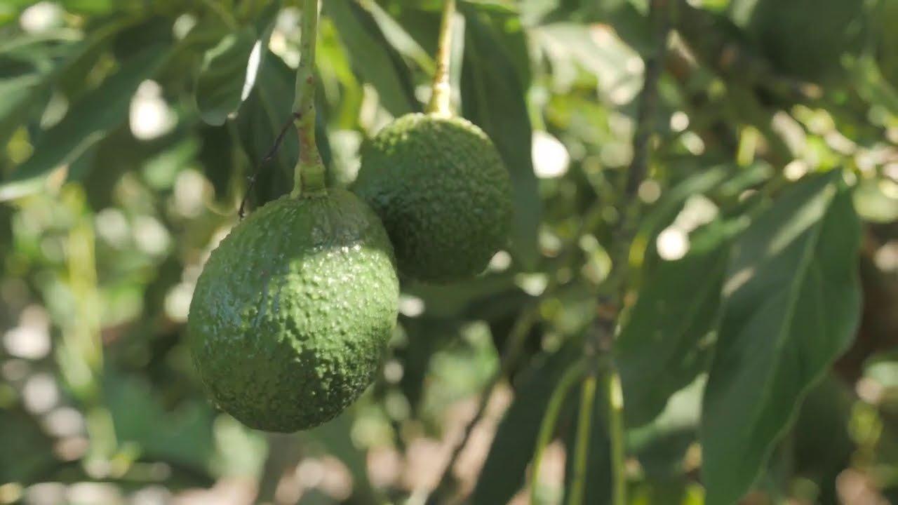 Módulo 1: Generalidades del cultivo de aguacate