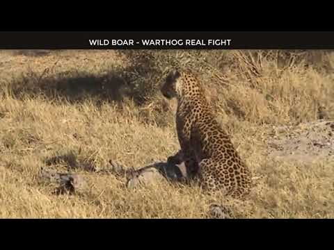 Wild Animals Fighting – Porcupine vs Lion, Leopard vs Boar, Elephant, Video African Animals