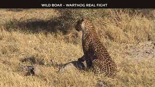 Wild Animals Fighting - Porcupine vs Lion, Leopard vs Boar, Elephant, Video African Animals