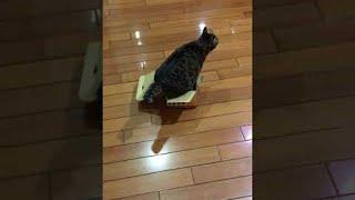 Cat Tries to Wiggle Herself into a Box || ViralHog