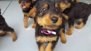 Airedale Terrier Puppies For Sale Video - S & S Family Airedales -Casey's Back Porch Boy Airedales