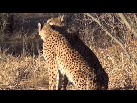 4 jours au Cheetah Conservation Fund en Namibie pour la protection et conservation du guépard