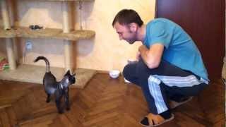 Tresowany kot rasy Devon Rex