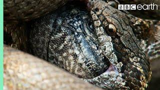 Iguana vs Snakes (Full Clip) | Planet Earth II | BBC Earth