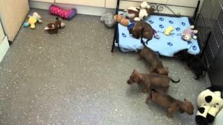 Little Rascals Uk Breeders New Litter Of Pedigree Dachshunds
