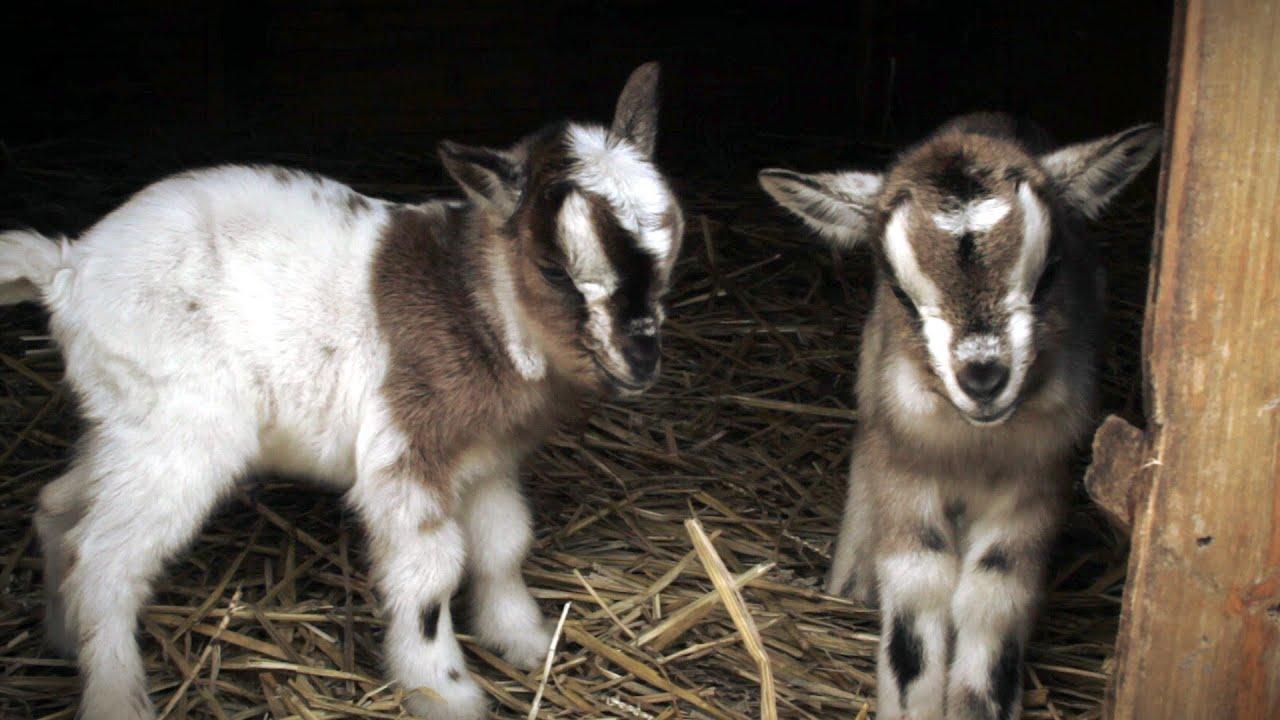 Cute Goat Wallpaper Cute Newborn Kids Baby Goats Youtube