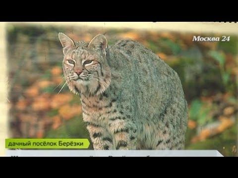 Вопрос: Есть ли рыси в Ленинградской области Можно ли встретить их в лесу?