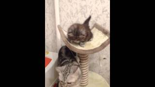 Шотландские котята продаются)