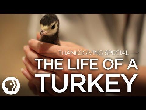 Original Fare - Thanksgiving Special: The Life of a Turkey   Original Fare   PBS Food