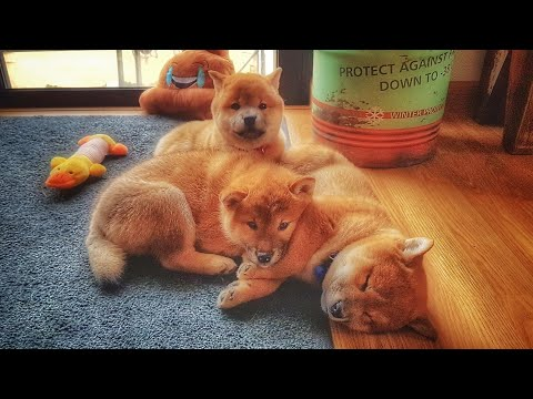 He does a heccin tricc! MLIP / Ep 139 / Shiba Inu puppies
