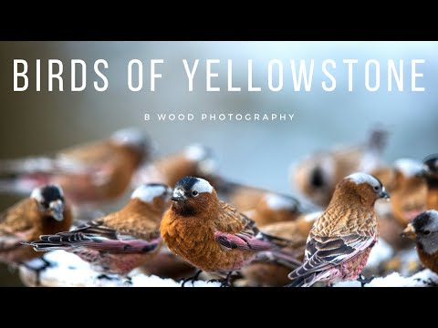 """A Yellowstone Minute"" ~ Birds"