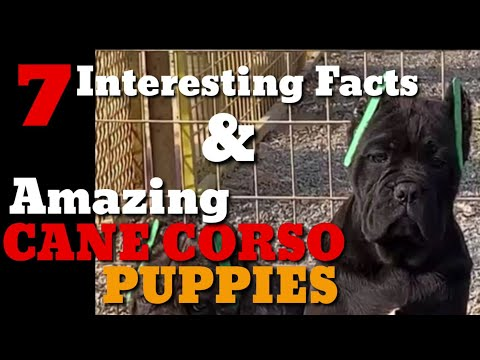 7-interesting-facts-why-you-should-take-a-cane-corso-&-awesome-top-quality-cane-corso-pups-for-sale