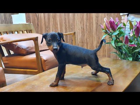 Mua chó Minpin thuần chủng liên hệ: 08161911