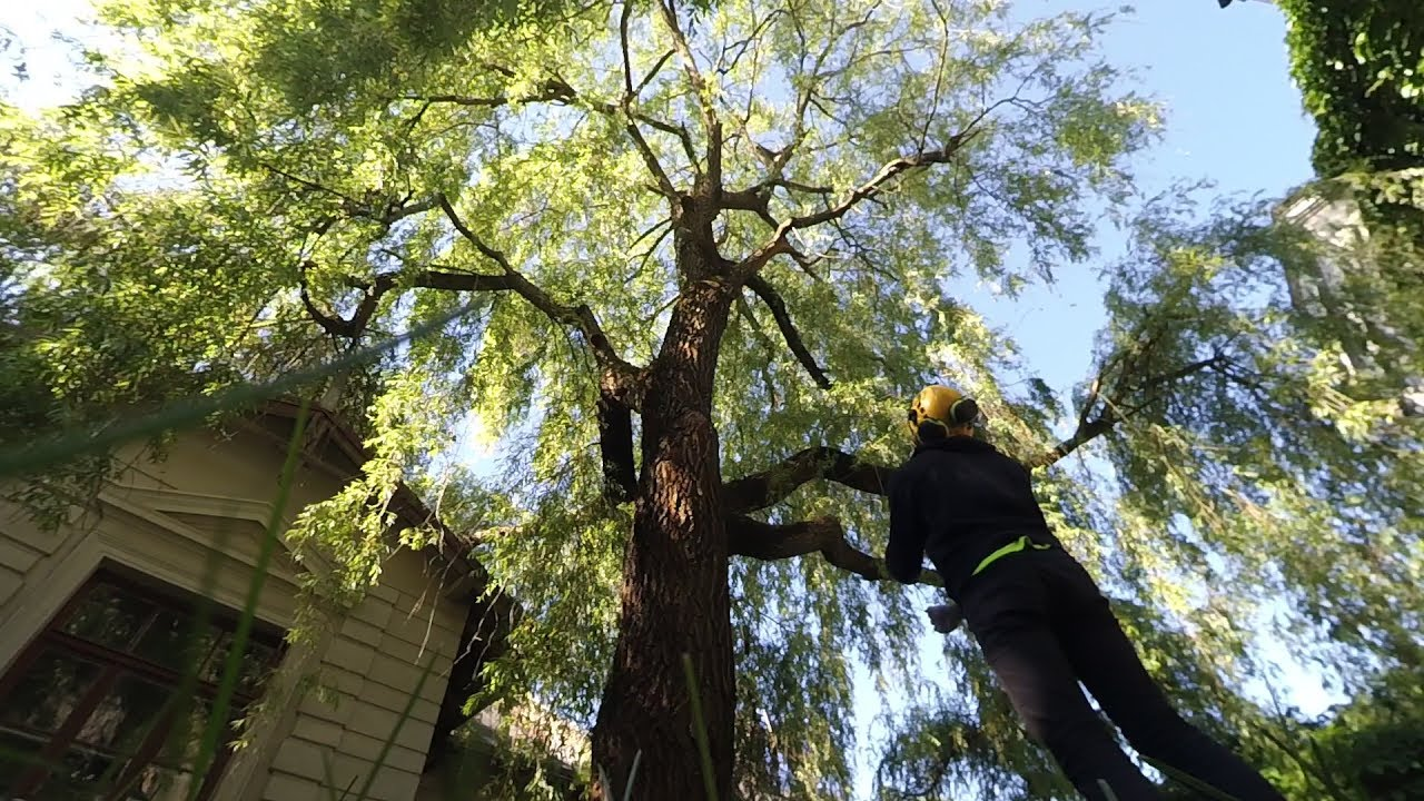Pruning Beautiful Willow Tree Youtube