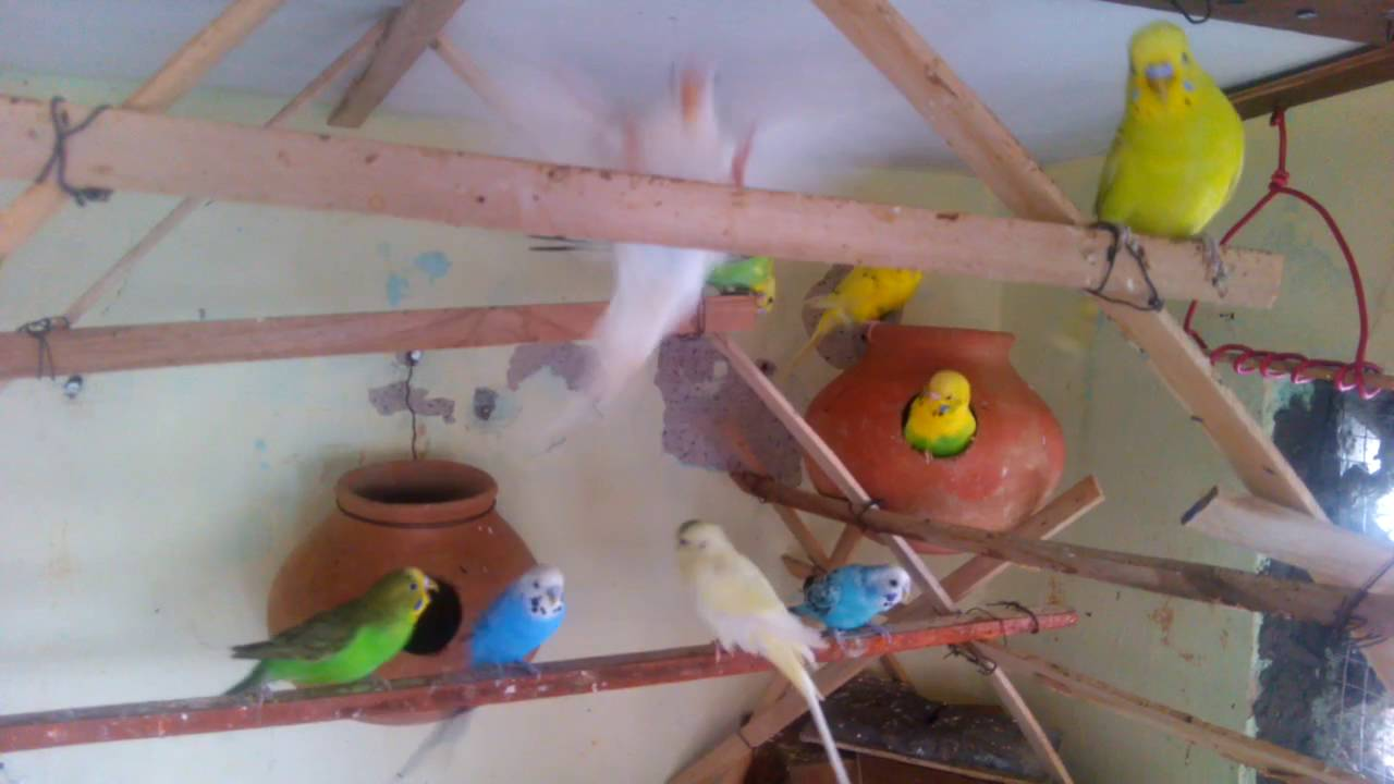 colorful love birds mobile video youtube