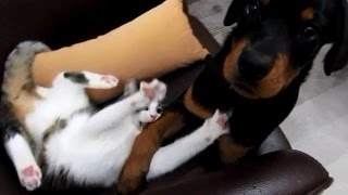 Rottweiler Puppy And Cat Playing