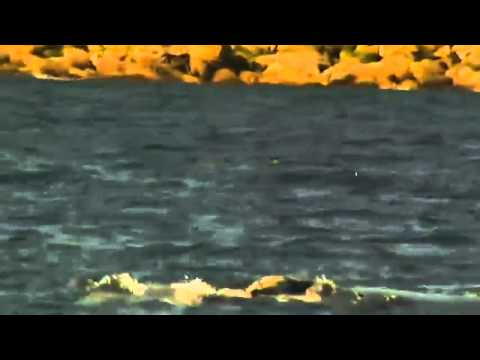 AOL com Video   Rare Footage  Whale and Calf Swim in Sydney Travel Video