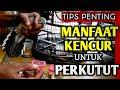 Manfaat Kencur Untuk Perkutut Tip Penting  Mp3 - Mp4 Download
