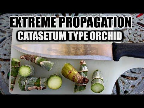 EXTREME PROPAGATION 101 - CATASETUM ORCHID