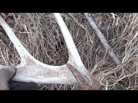 Shed Antler Hunting 2014