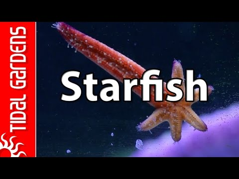 Reef Aquarium Starfish