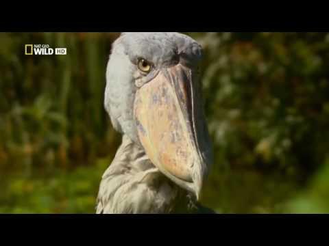 01 National Geographic  Дикая река Конго   Wild Congo