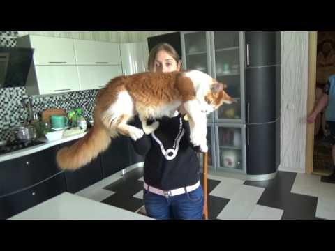 Взвешивание котенка мейн - кун Volga Pride ROLEX
