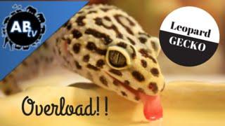 Leopard Gecko Overload! SnakeBytesTV : AnimalBytesTV