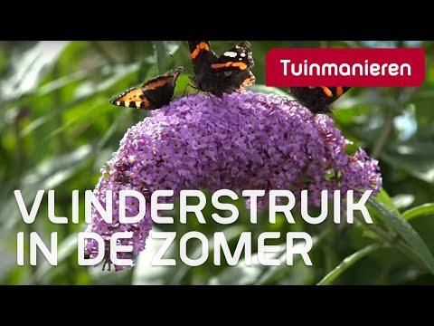 De Vlinderstruik in de zomer, de buddleja