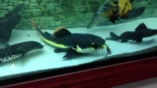 Pirarara comendo uma carpa 25cm