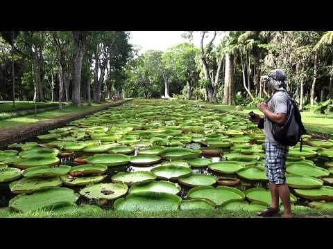 BEST OF MAURITIUS -  BOTANICAL GARDEN - THE GIANT WATER LILIES