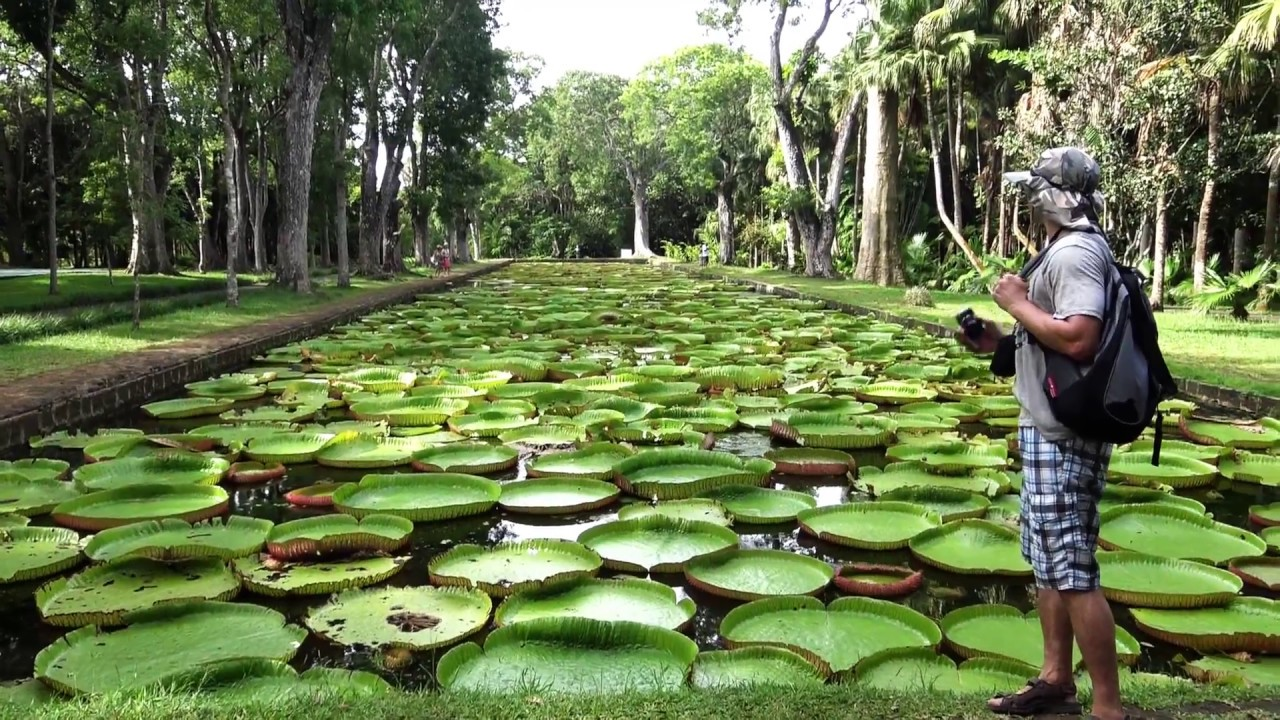 Best Of Mauritius Botanical Garden The Giant Water Lilies
