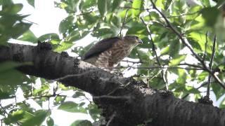 Gambar cover 野鳥:ツミ 親鳥が捕らえてきた雀を幼鳥が~(7D)