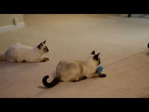 Nashville, Tennessee--Applehead Traditional Kittens--Siamese For Sale