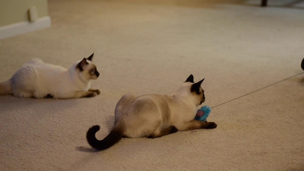 Nashville, Tennessee--Applehead Traditional Kittens--Siamese For ...