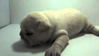 ぽちなびではブリーダーのフレンチブルドッグ の子犬を販売しております...