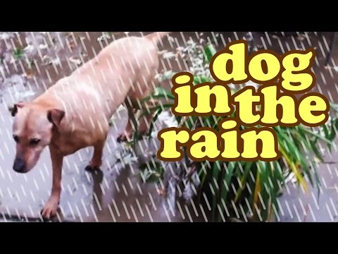 dog-in-the-rain---rainy-days-sounds-wet-weather-drought-california-raining---dogs-activities-jazevox