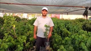 Urmu Ekşi Kara Dut Meyve Özellikleri Yetiştiriciliği ve Fidan Satışı