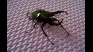 Kumbang Badak.wmv