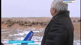 В Астраханской области выведен новый тип верблюдов калмыцкой породы