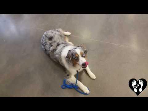 Houston dog training | 1 yr old mini Aussie working in public and off leash