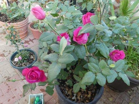 Cómo hacer rosales con muchas rosas y crecer