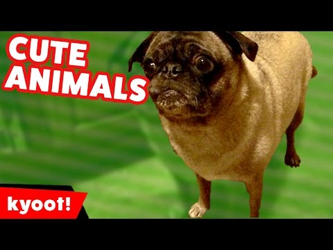 Dog Jumps Up A Tree & Dangles From Branches & More Funny Animal Videos of 2016 | Kyoot Animals