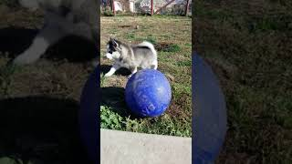 Mountain Shadow Pomskies litter