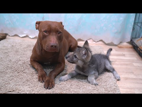 Волчонок Луна и Питбуль Кияра. Незапланированная встреча!