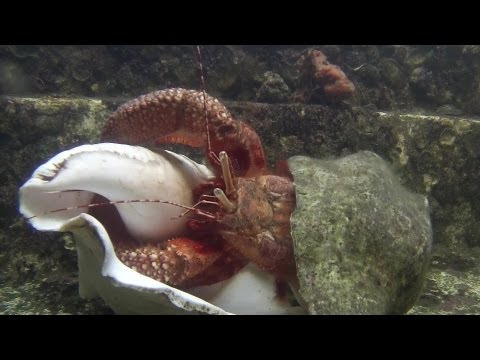 Giant Hermit Crab Changing Shells - Documentary Short - 1080p