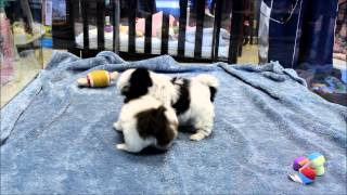 Female Havanese And Male Shih Tzu Puppies For Sale In Boca Raton