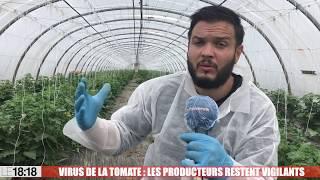 Virus de la tomate : les agriculteurs restent vigilants