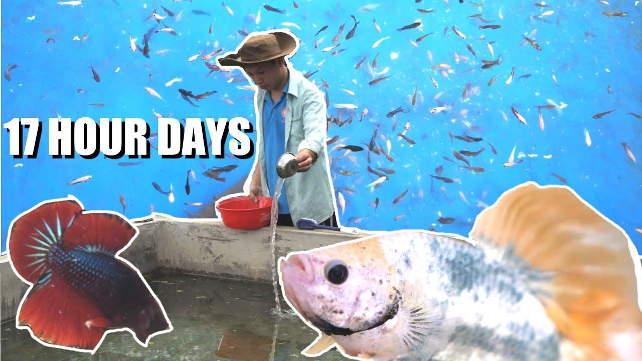 BETTA FISH BREEDER - 17 HOUR WORK DAYS. A Day In the Life of a fighting fish farmer in VIETNAM