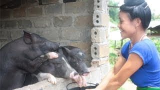 Vietnam: Pigs Raise A Farmer's Income